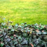 Controlling Ground Ivy in your Lawn