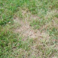 Understanding Chinch Bug Damage