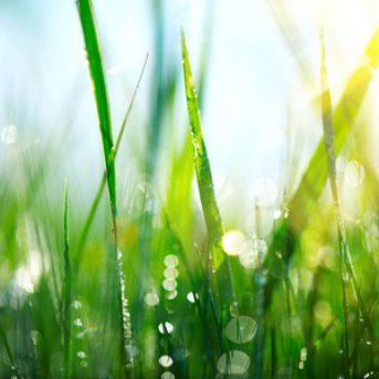 Fresh spring grass with dew