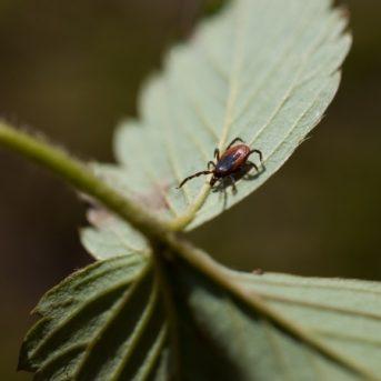 Tick on a Leaf
