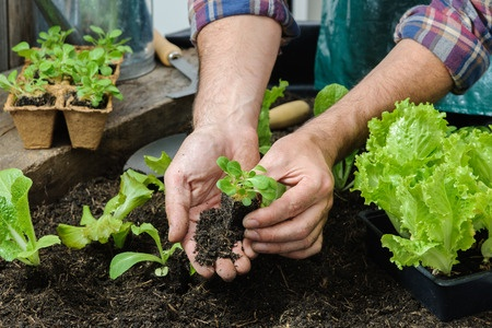 Planting lettuce in a vegetable garden