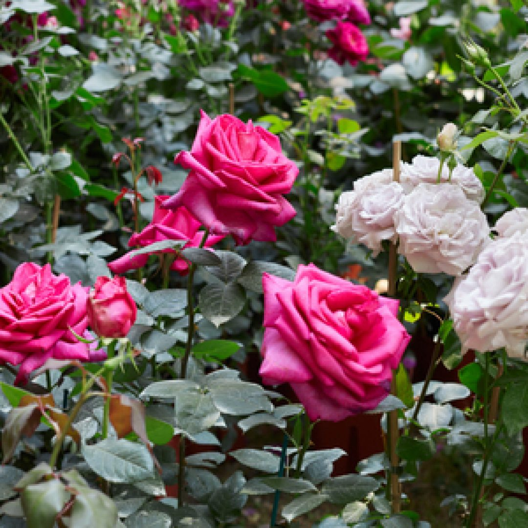Let's Celebrate National Rose Month