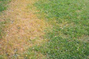 Dead Grass on a Lawn in MA